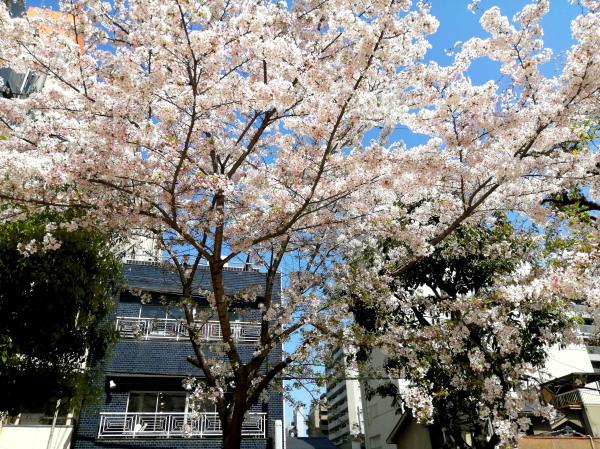 桜_e0069308_16222650.jpg