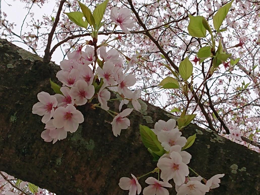 桜の花ごはん de 毎日のお弁当_d0361028_00191166.jpg