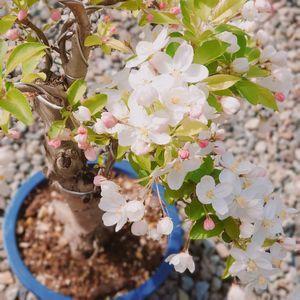 ミニリンゴの木_a0077632_13432333.jpg
