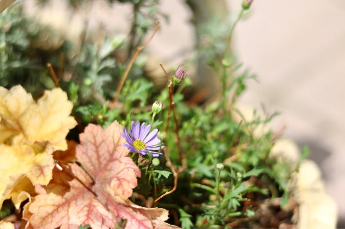 冬を越した寄せ植え_c0359445_11003944.jpg