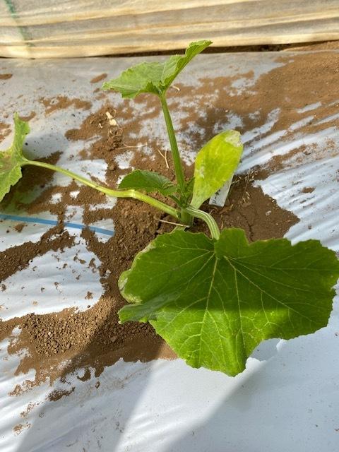 トマトの畝 バジルの畝作り 始めます_c0222448_14005318.jpg