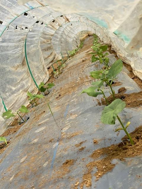 トマトの畝 バジルの畝作り 始めます_c0222448_14010061.jpg