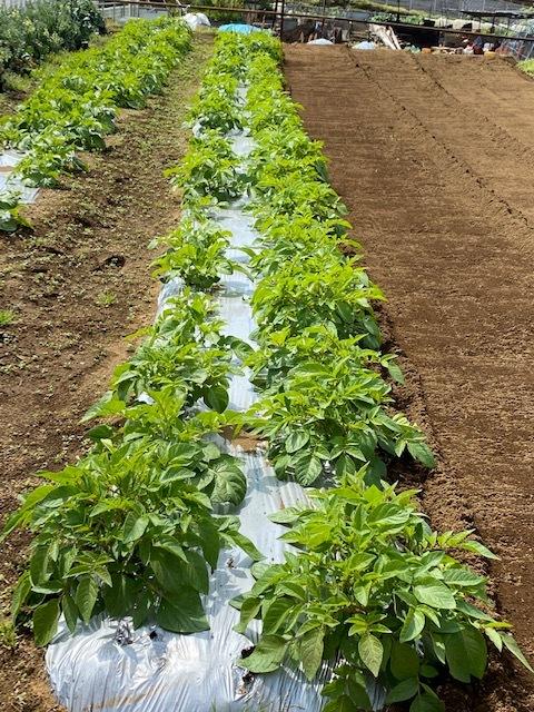 トマトの畝 バジルの畝作り 始めます_c0222448_14010912.jpg