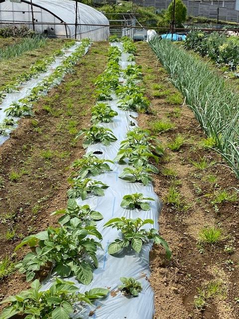 トマトの畝 バジルの畝作り 始めます_c0222448_14011675.jpg