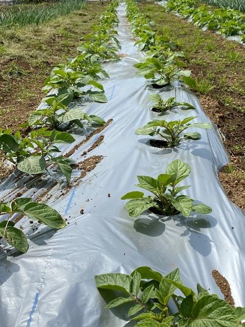 トマトの畝 バジルの畝作り 始めます_c0222448_14012433.jpg