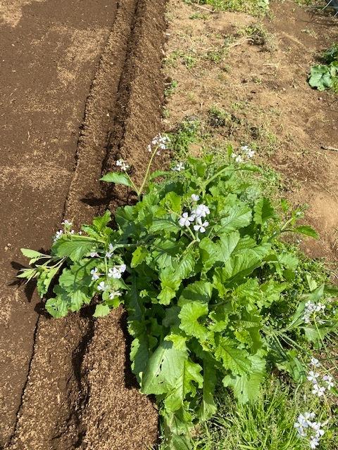 トマトの畝 バジルの畝作り 始めます_c0222448_14013939.jpg