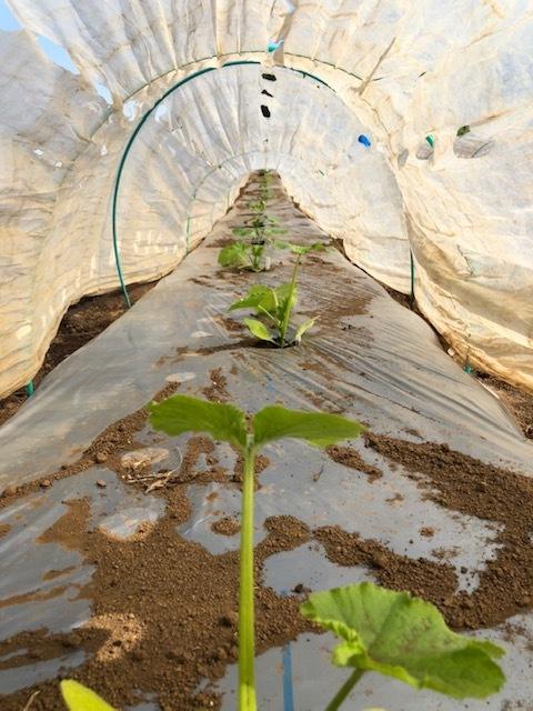 トマトの畝 バジルの畝作り 始めます_c0222448_14182189.jpg