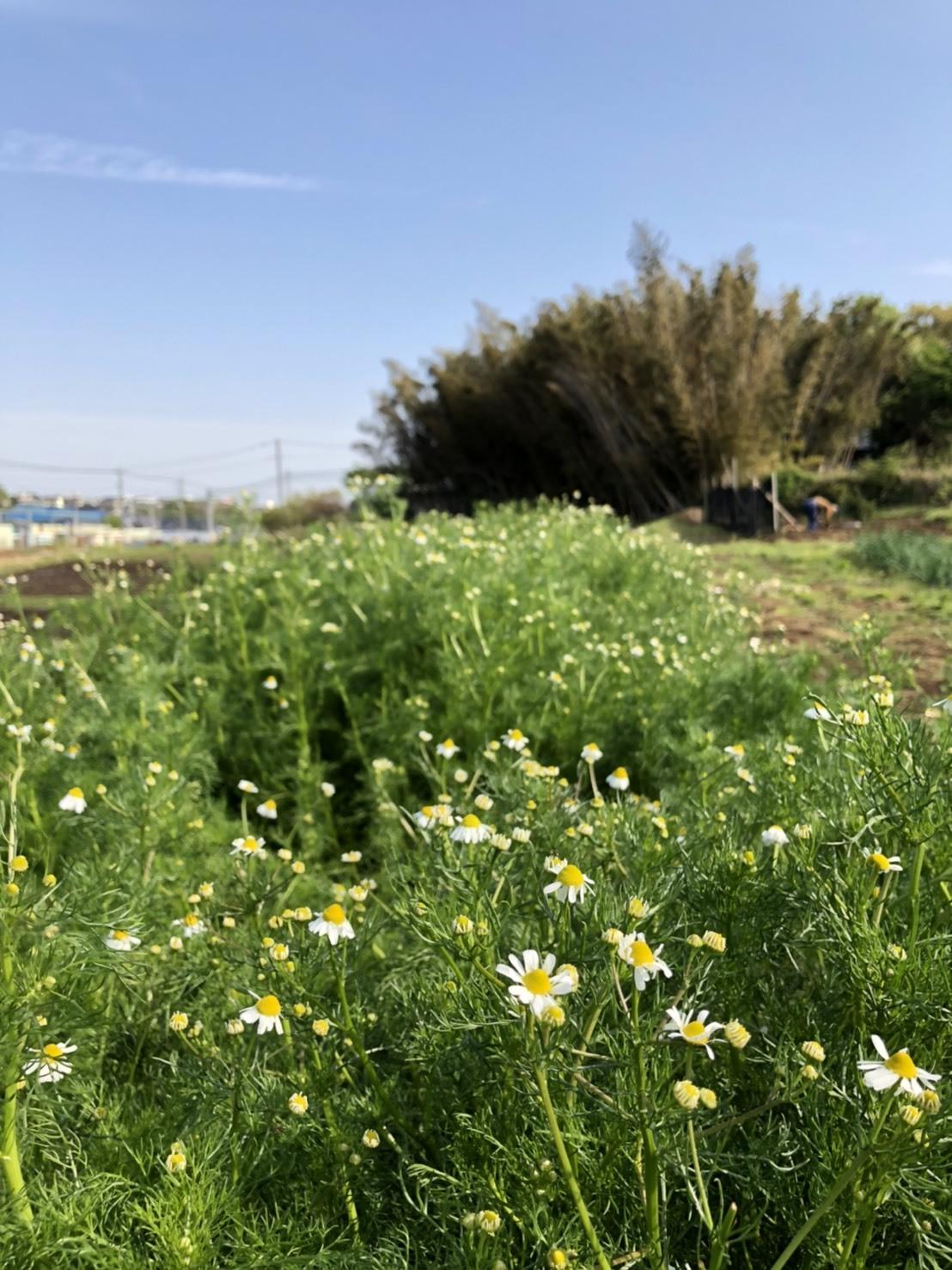 トマトの畝 バジルの畝作り 始めます_c0222448_14185842.jpg