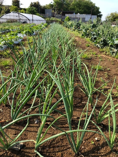 トマトの畝 バジルの畝作り 始めます_c0222448_14192467.jpg