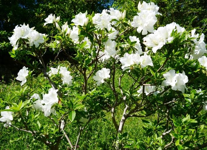 桜からつつじへそして新緑へ  2021-04-09 00:00_b0093754_22131690.jpg