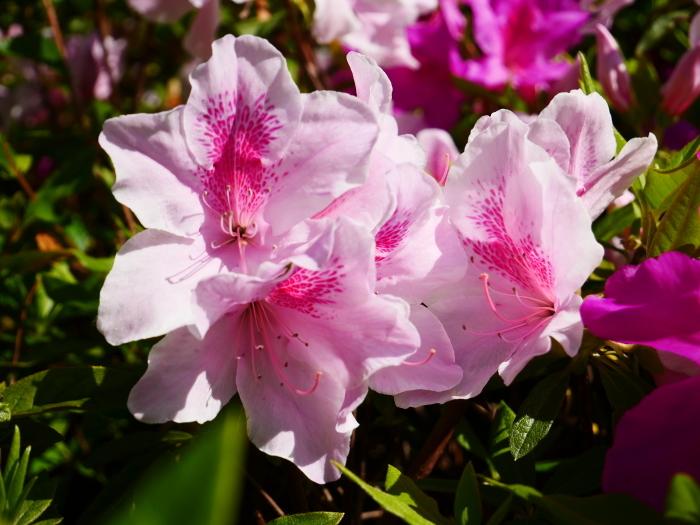 桜からつつじへそして新緑へ  2021-04-09 00:00_b0093754_22132537.jpg