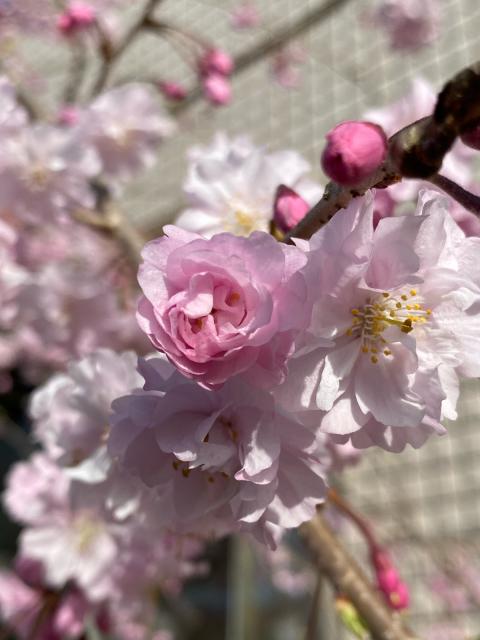 桜・さくら・サクラ_f0349957_16452343.jpg
