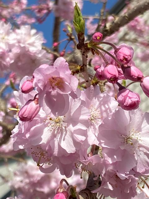 桜・さくら・サクラ_f0349957_16454093.jpg