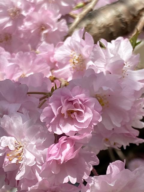 桜・さくら・サクラ_f0349957_16454105.jpg