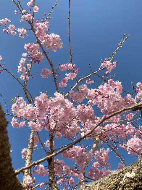 桜・さくら・サクラ_f0349957_16454316.jpg