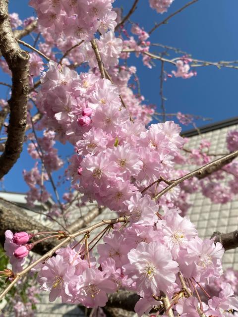 桜・さくら・サクラ_f0349957_16454458.jpg