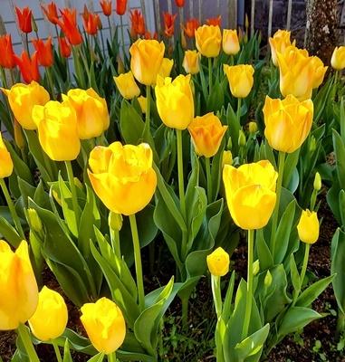 お庭のチューリップが満開になりました♪_b0194861_17571425.jpg