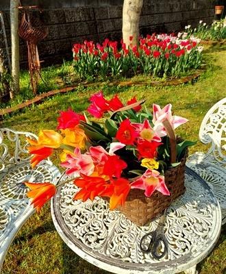 お庭のチューリップが満開になりました♪_b0194861_17581232.jpg