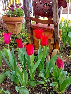 お庭のチューリップが満開になりました♪_b0194861_18002927.jpg