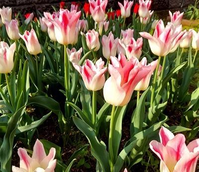 お庭のチューリップが満開になりました♪_b0194861_18070227.jpg
