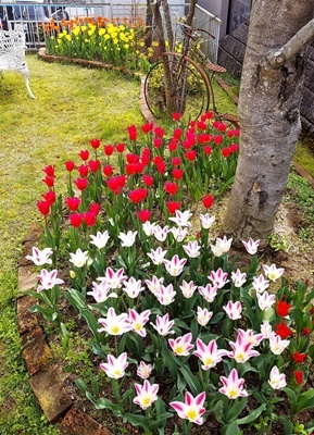 お庭のチューリップが満開になりました♪_b0194861_19101528.jpg