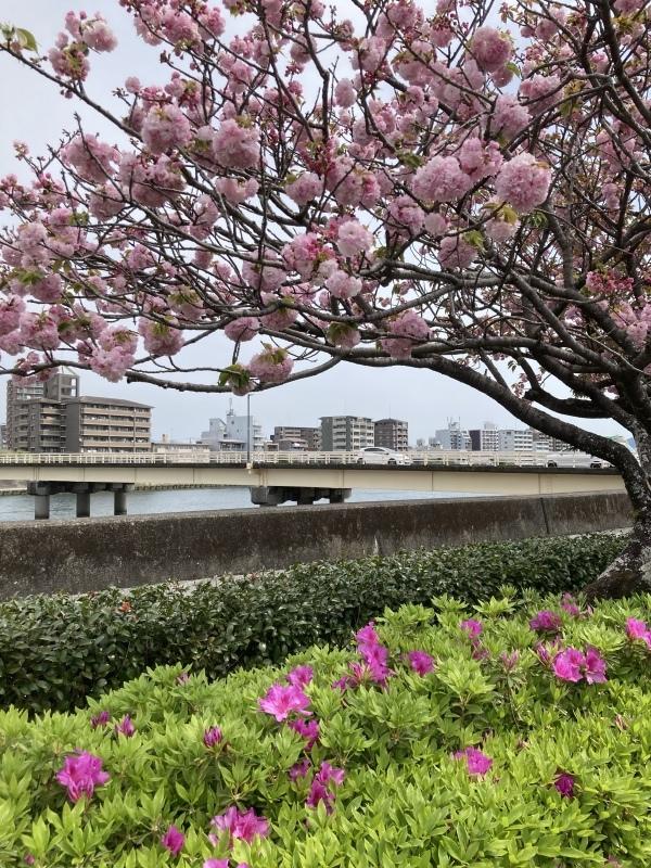 牡丹桜_b0351169_17321391.jpeg