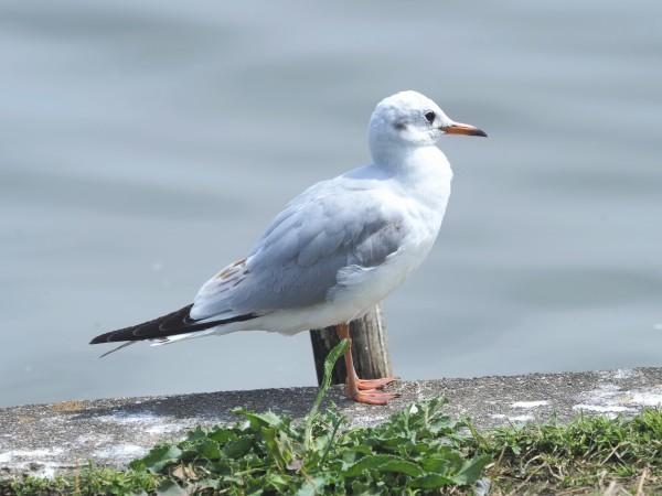 4月の野鳥調査で出会った鳥たち。_d0121678_16281755.jpg