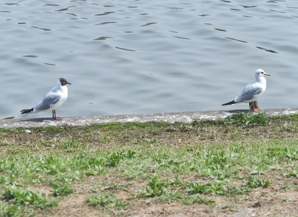 4月の野鳥調査で出会った鳥たち。_d0121678_16283489.jpg