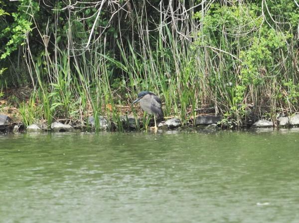 4月の野鳥調査で出会った鳥たち。_d0121678_16365125.jpg