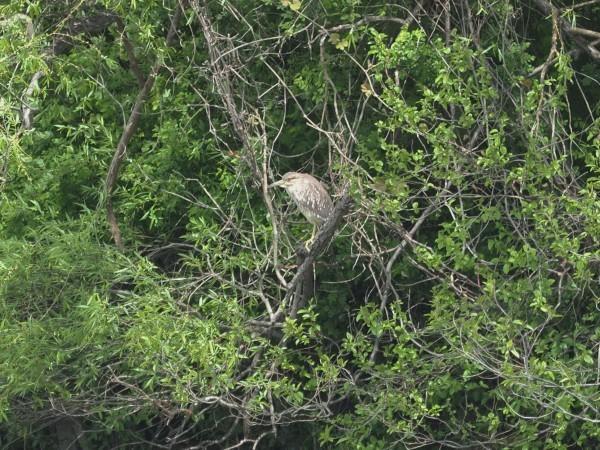 4月の野鳥調査で出会った鳥たち。_d0121678_16365156.jpg