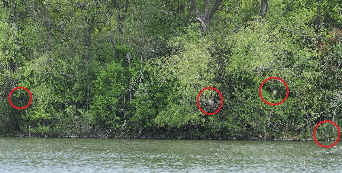 4月の野鳥調査で出会った鳥たち。_d0121678_16392132.jpg