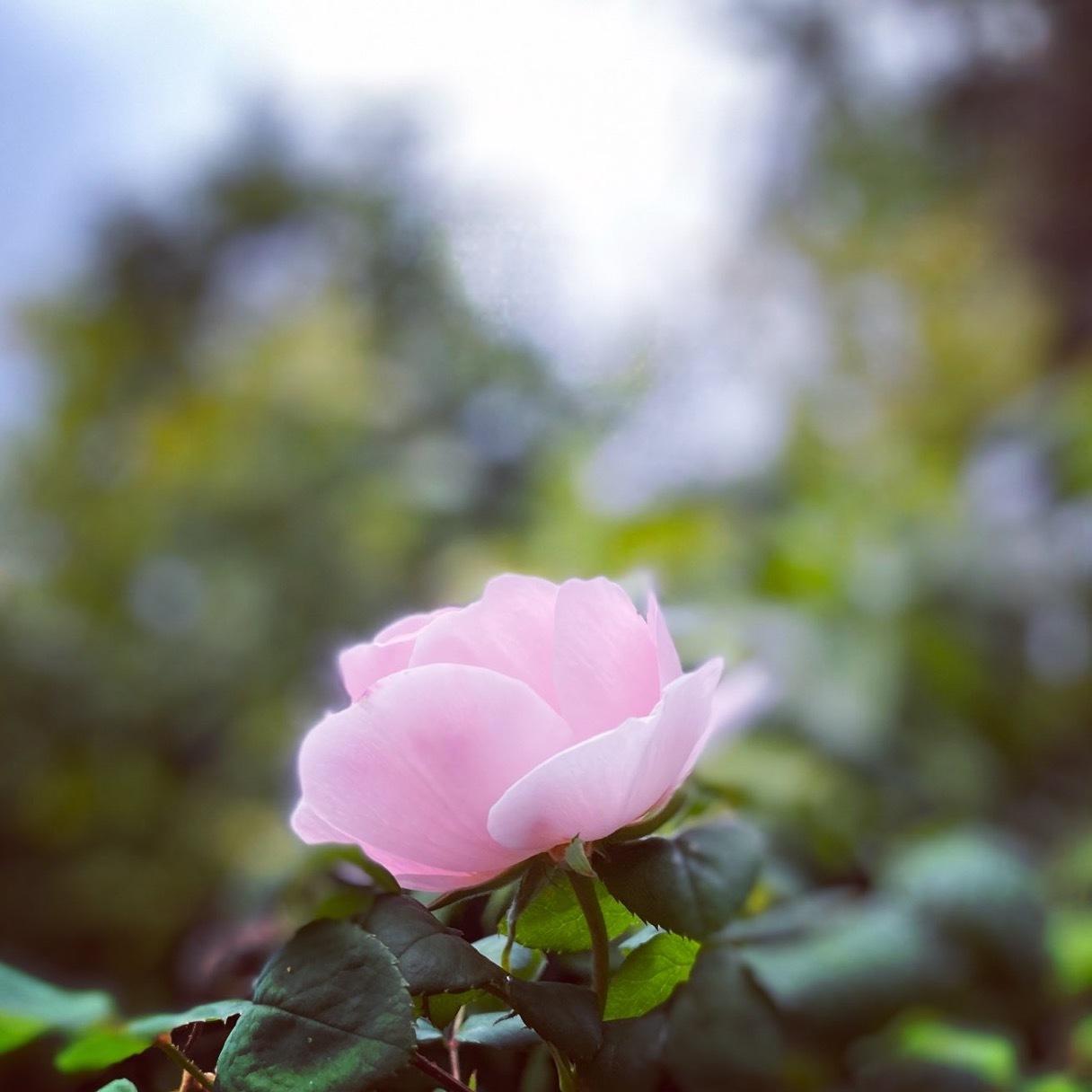 4月の薔薇_c0203401_17182162.jpeg
