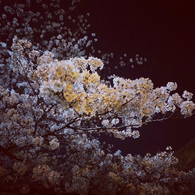 夜桜_c0203401_17313249.jpeg