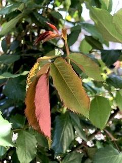 人魚楼日記 薔薇の刺が紅い。茎も紅味と緑で、可愛い_e0016517_11584486.jpeg
