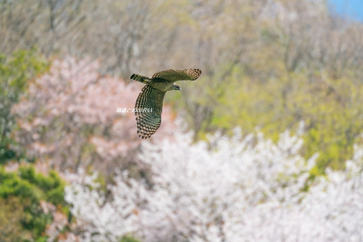 クマタカ(桜)・・・Mountain Hawk-Eagle (in Cherry Blossoms)_e0139623_15153705.jpg