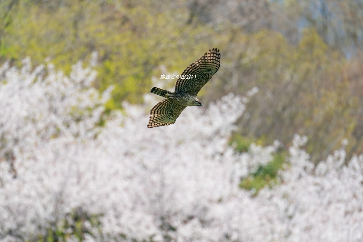 クマタカ(桜)・・・Mountain Hawk-Eagle (in Cherry Blossoms)_e0139623_15154438.jpg