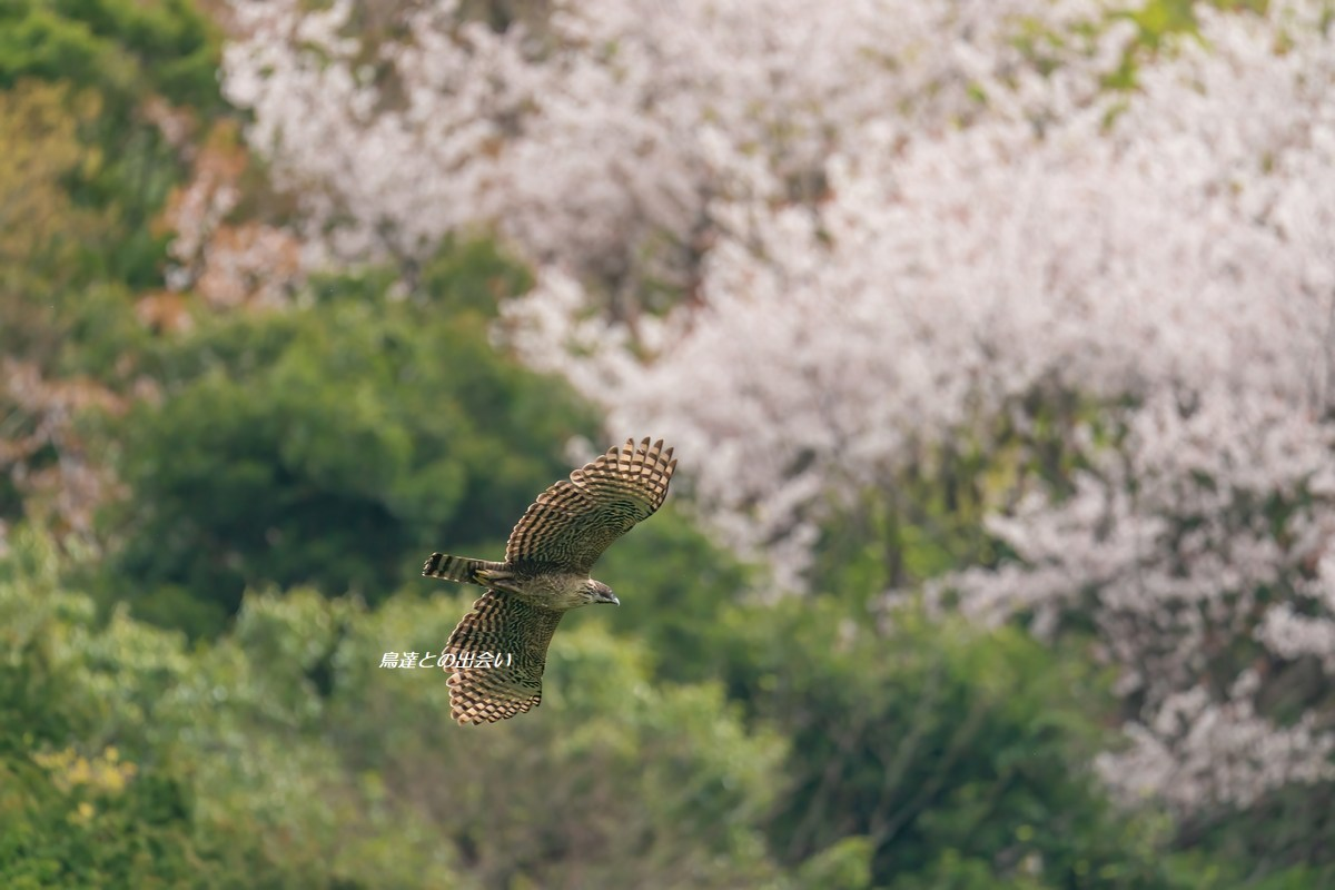 クマタカ(桜)・・・Mountain Hawk-Eagle (in Cherry Blossoms)_e0139623_15155149.jpg