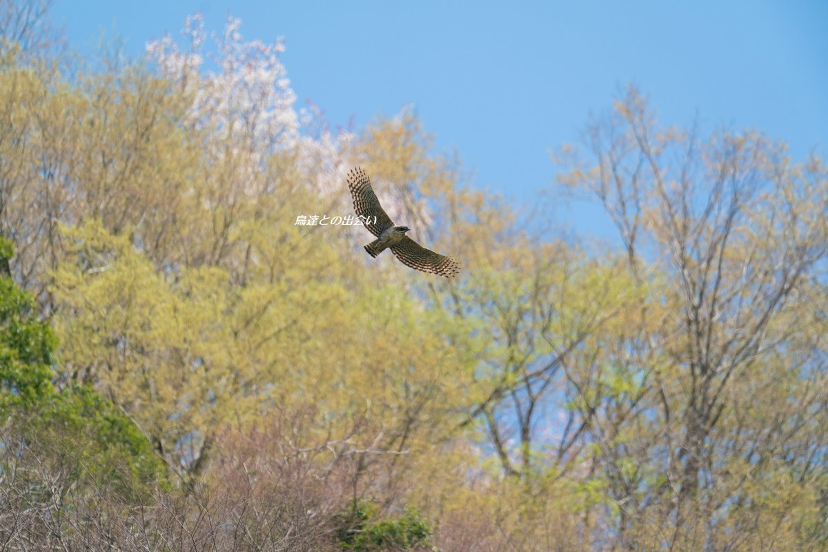 クマタカ(桜)・・・Mountain Hawk-Eagle (in Cherry Blossoms)_e0139623_15155834.jpg