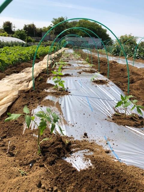 今朝よりトマトの定植 まずは桃太郎から・・・朝晩気温下がるので 穴あきトンネルを張ります 茄子の鉢上げも_c0222448_14142602.jpg