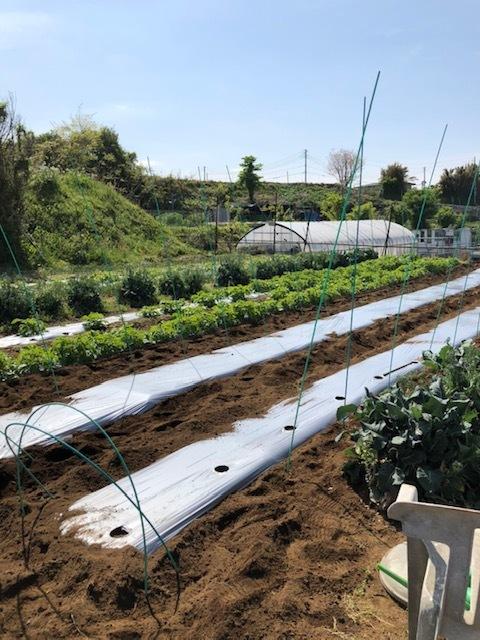 今朝よりトマトの定植 まずは桃太郎から・・・朝晩気温下がるので 穴あきトンネルを張ります 茄子の鉢上げも_c0222448_14145633.jpg