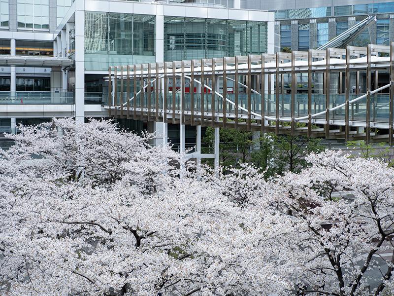 Hello from Tokyo 154 品川の桜_a0003650_22572957.jpg