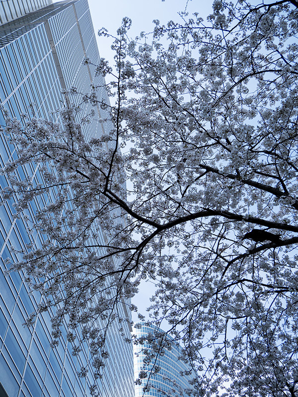 Hello from Tokyo 154 品川の桜_a0003650_22584543.jpg