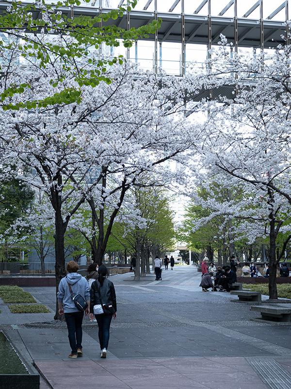 Hello from Tokyo 154 品川の桜_a0003650_22585740.jpg