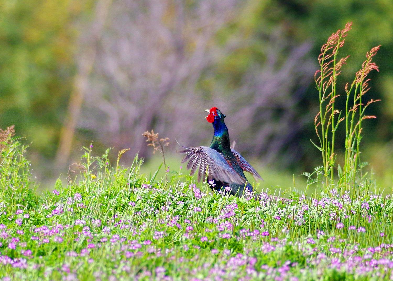 春の陽気に誘われて キジ散歩_f0215767_14104120.jpg