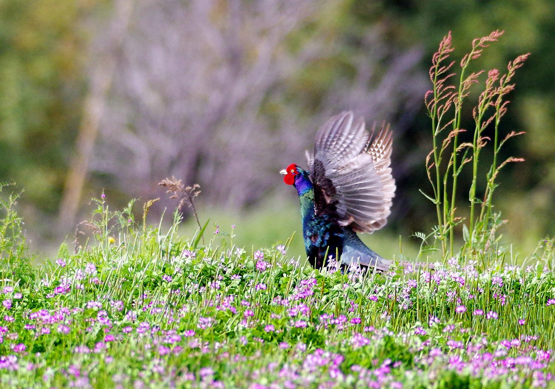 春の陽気に誘われて キジ散歩_f0215767_14104475.jpg