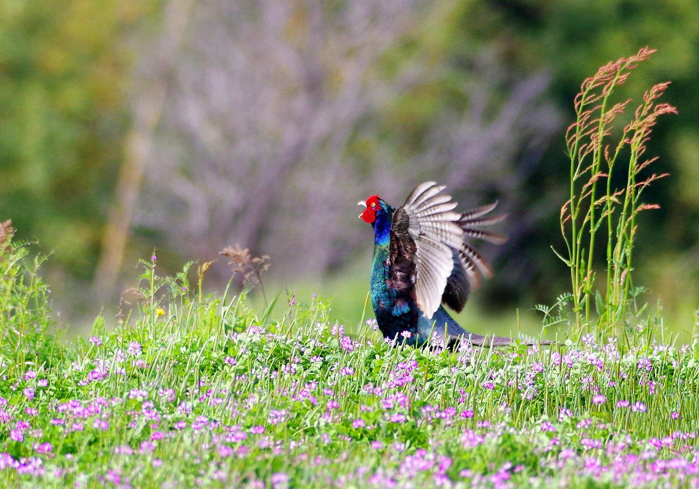 春の陽気に誘われて キジ散歩_f0215767_14105050.jpg