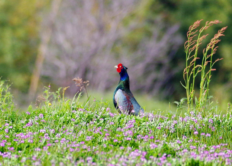 春の陽気に誘われて キジ散歩_f0215767_14105489.jpg