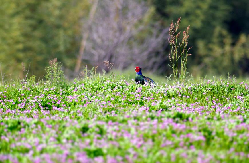 春の陽気に誘われて キジ散歩_f0215767_14105707.jpg