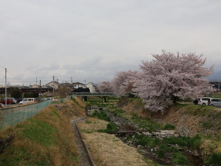 上越線SL ~桜と~ (2021/4/3撮影)_b0369971_13310813.jpg