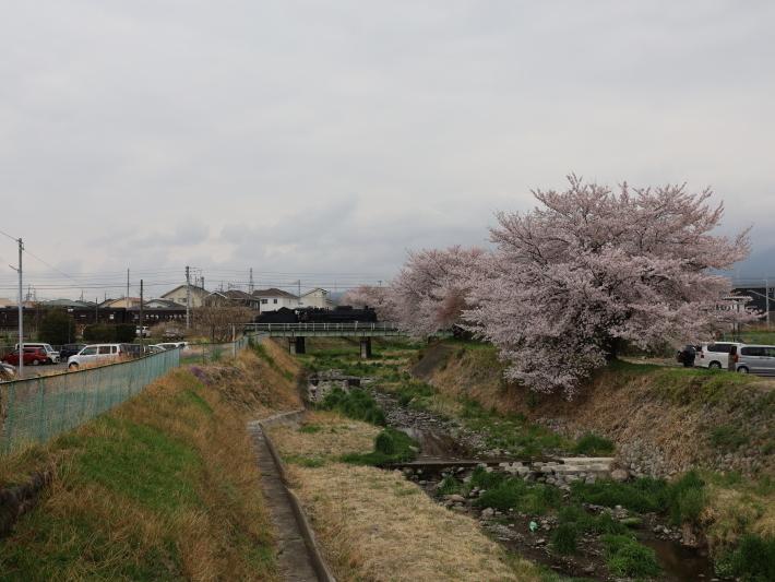 上越線SL ~桜と~ (2021/4/3撮影)_b0369971_13312110.jpg